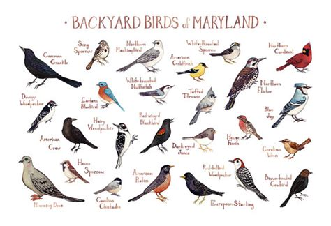 Maryland Backyard Birds Field Guide Art Print / Watercolor