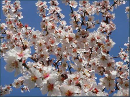 alberi fioriti alberi fioriti