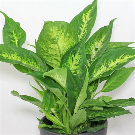 tropical foliage plants identification dieffenbachia seguine