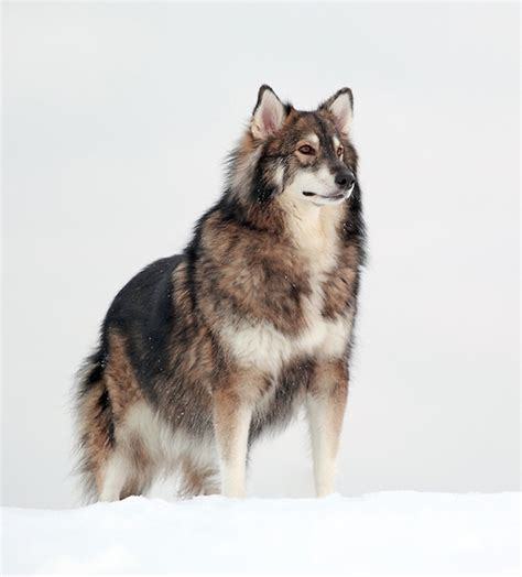 alaskan malamute cross pomeranian 21 crossbreed dogs that will make you want your own mutt