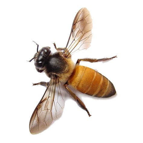 bee png image free bee picture png