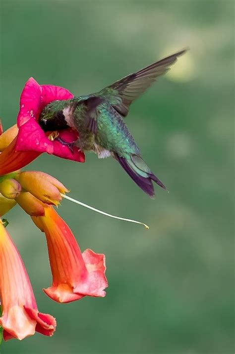 17 best images about animals hummingbirds on pinterest