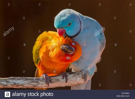 pair of small colorful parrot lovebirds agapornis grooming