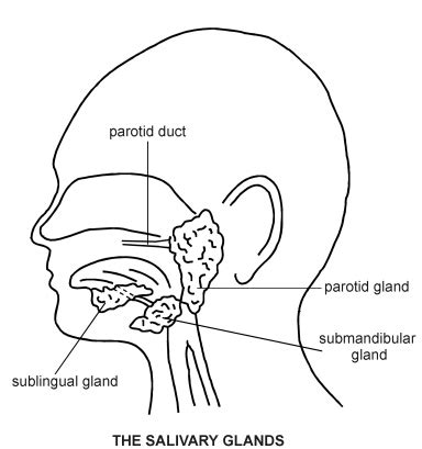 diagram of salivary glands salivary glands diagram patient co uk