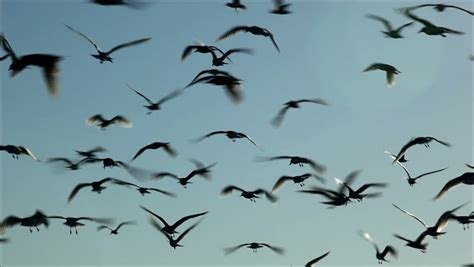 hundreds of birds flying in the air stock footage 2455934