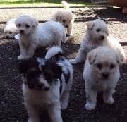 maltese shih tzu puppies for sale perth shih tzu maltese puppies for sale perth