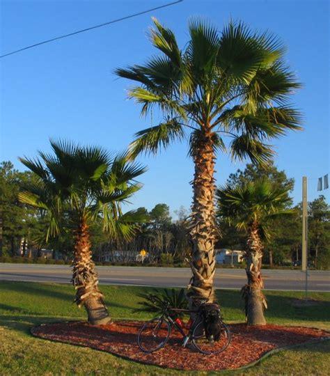 Palm Tree - photos of palm trees by steve garufi