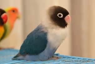 lovebird colors file agapornis personata cobalt jpg wikimedia commons