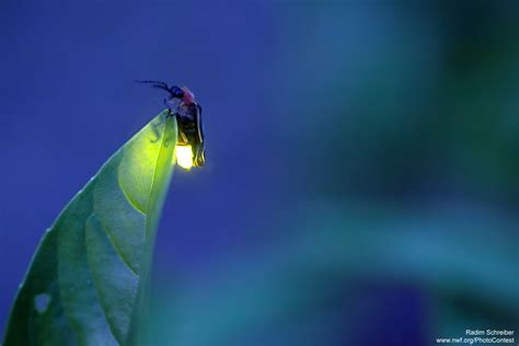 hd pattern firefly fireflies the national wildlife federation blog