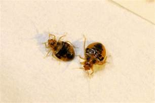 Small Biting Insects In Home Bed Bug Pictures High Resolution Images