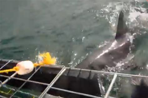 joyride shark attack south africa 2014 great white shark attacks cage diving tourist in