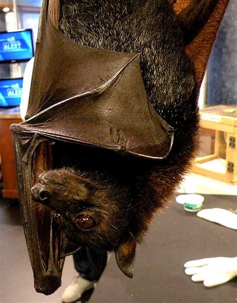 fruit bat pet i pet a fruit bat