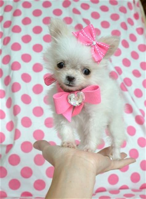 teacup pomeranian orlando teacup puppies for sale florida puppies for sale ta puppies for sale orlando
