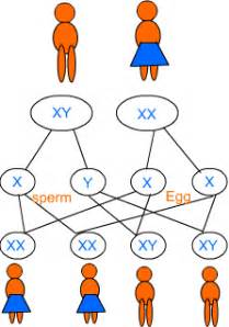 class ten science heredity and evolution mendel Y Chromosome Sperm