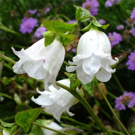 Wedding Bell Flowers by Canula Bellflowers In Detail Dorset Perennials