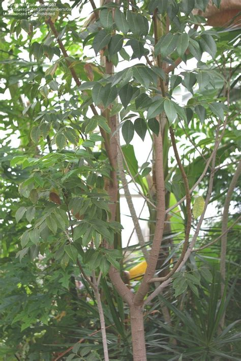 Luthy Botanical Garden Plantfiles Pictures Neem Tree Azadirachta Indica By Chamma