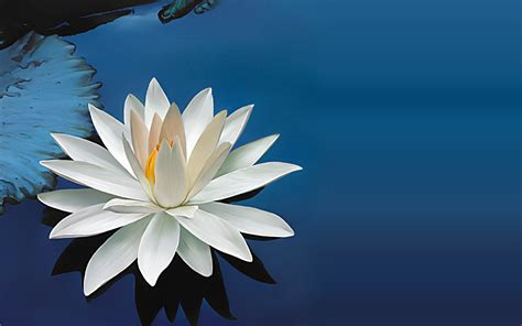lotus on lotus flowers white lotus flower and