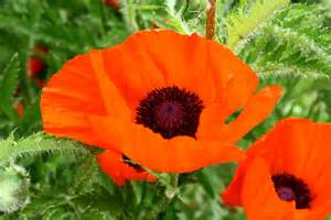 poppy color beautiful poppies color orange free stock photo
