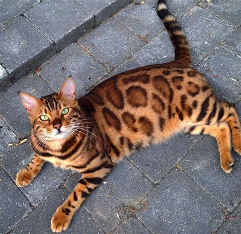 bengal house cat this is thor the bengal house cat that s dominating instagram right now