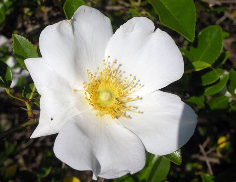 State Flower | state flower of georgia cherokee rose www auburn edu