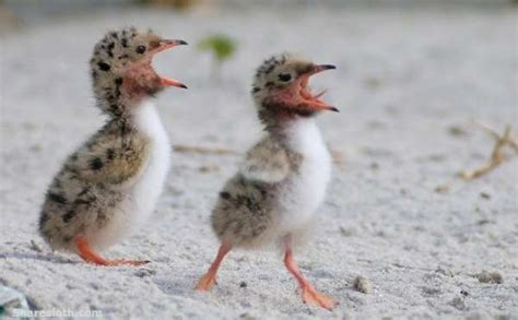 baby tern chick pictures so much cuter tha pufflings