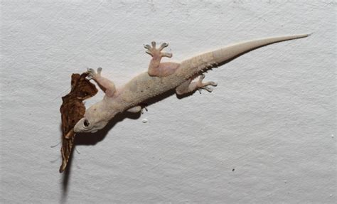 flat headed tropical house gecko hemidactylus