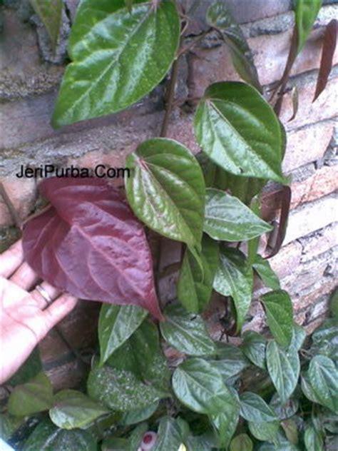 Bibit Binahong Hijau agen henna golecha manfaat khasiat daun sirih merah
