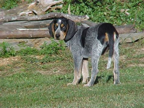 blue tick hound puppy blue tick hound gods adorable creatures