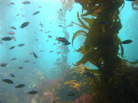 The In The Kelp how does kelp complicate the sea otter equation