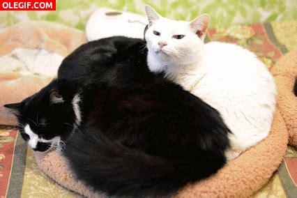 imagenes blanco y negro de gatos gif gato blanco y gato negro gif 5238