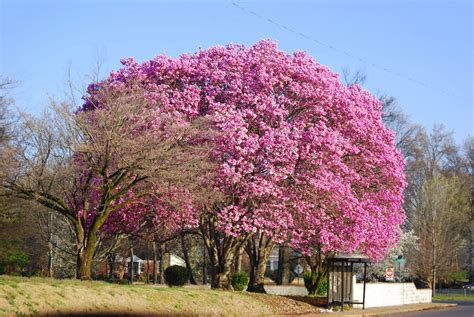 japanese magnolia tree www imgkid com the image kid has it