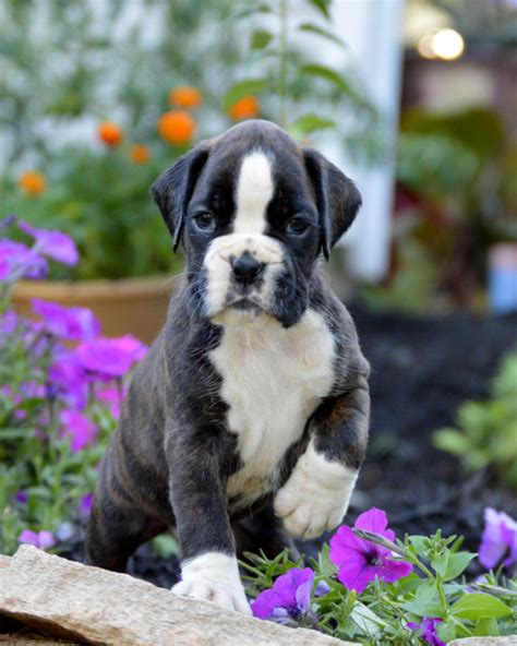 boxer puppies indiana brindle boxer puppies indiana 4k wallpapers
