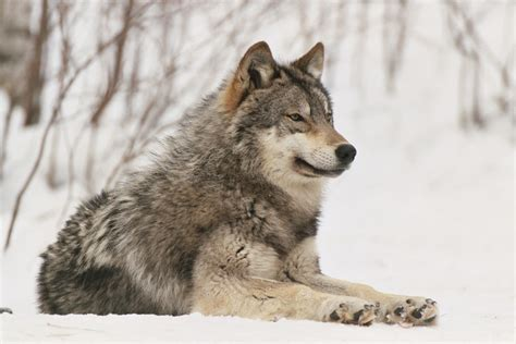 Wolf S | fun wolf facts international wolf center