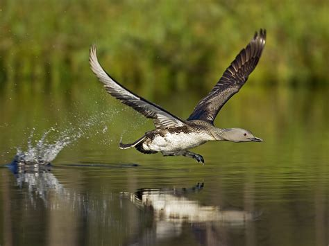 a bird running on water поиск wallpapers and images