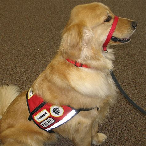 golden retriever service dogs there s a in my restaurant how to respond to service dogs reflections