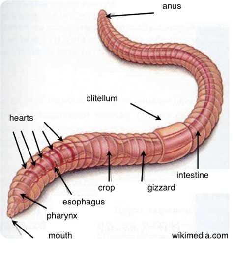 earthworm parts and what they do earthworms activities to help learn about worms hubpages