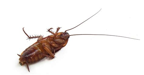 how to get rid of cockroaches in house how to get rid of roaches in kitchen cupboards wow blog