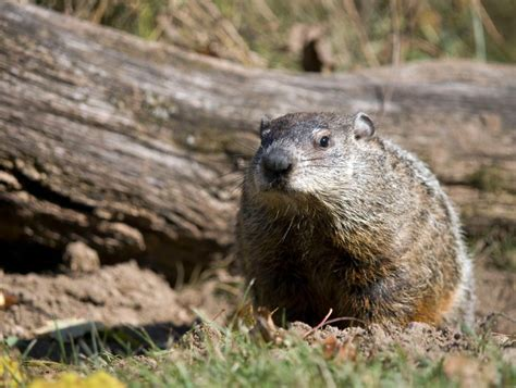groundhog day facts 161 best interesting stories images on