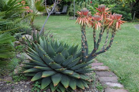 do aloe plants need sunlight do aloe plants need sunlight growing aloes www coolgarden me