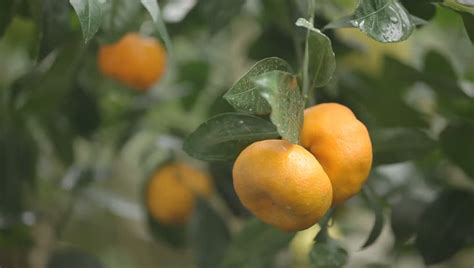 moving fruit trees oranges growing on trees in orange orchard garden with