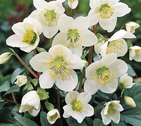 coltivazione in vaso elleboro come curare e coltivare gli ellebori in vaso e
