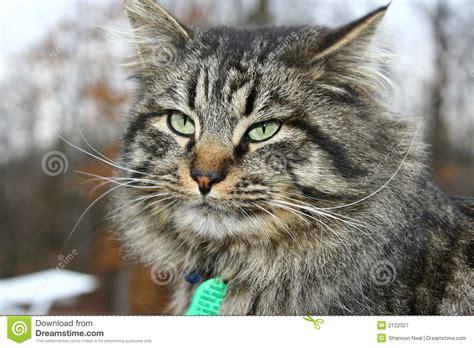 Big Tom Cat Royalty Free Stock Photography   Image: 2122327