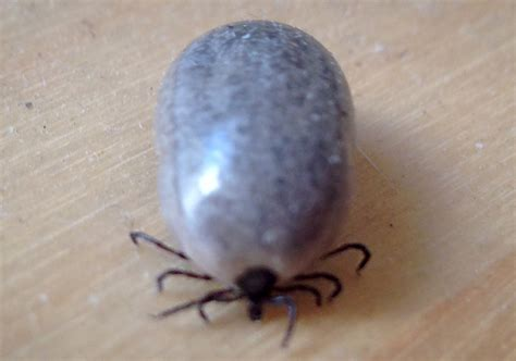 ticks in bed blood engorged tick what s that bug