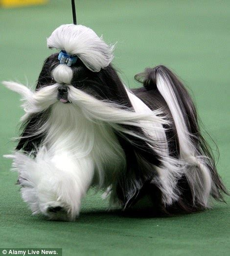 best in show shih tzu black and white shih tzu show www pixshark images galleries with a bite