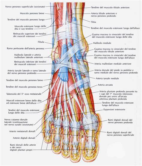 muscolo sedere legamenti collo piede medicinapertutti it