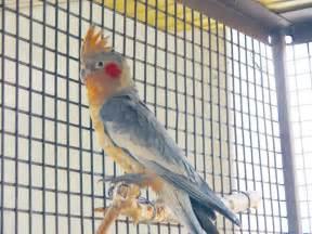 cockatiel colors new foster parrot hybrid parrots peggy s parrot place