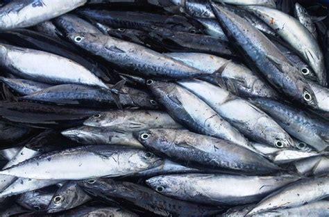 Makanan Ikan Hias Layang Layang gawat gara gara kemarau ikan layang jadi langka