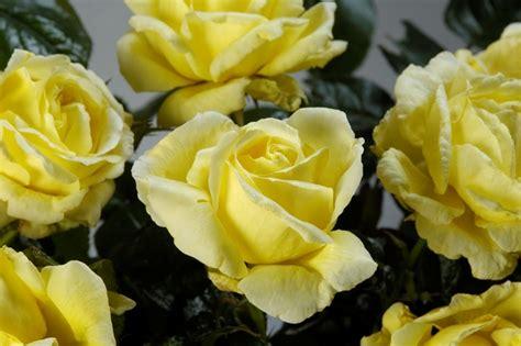 Marguerite Green Tea Spread 105gr cockers roses