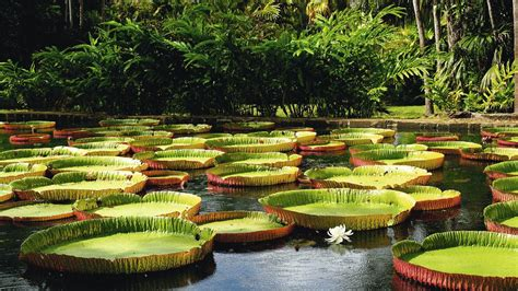 Botanical Garden Mauritius Choice Holidays Check Out Sized Water Lilies At Plemousses Botanical Gardens In