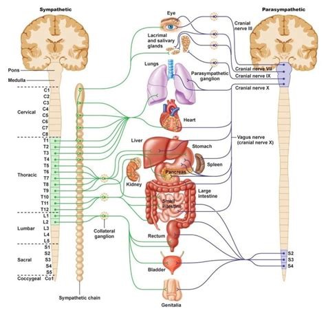 nerves of the human diagram diagrams of human nervous system diagram site